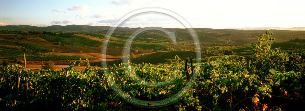 2005 - Panoramic view of vineyards in summer, near Quercegrossa village, Chianti land, 8 miles north province of Siena.