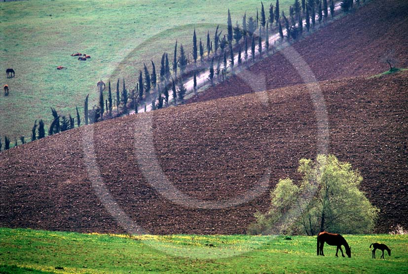 1986 - Landscapes of cipress and horses in country, near Ville di Corsano place, Arbia valley, 16 miles east the province of Siena.