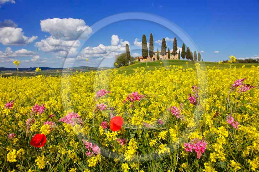2011 - View of farm and cypress on spring with white clouds and blue sky into a field of yellow Colsa flower and red Poppies.