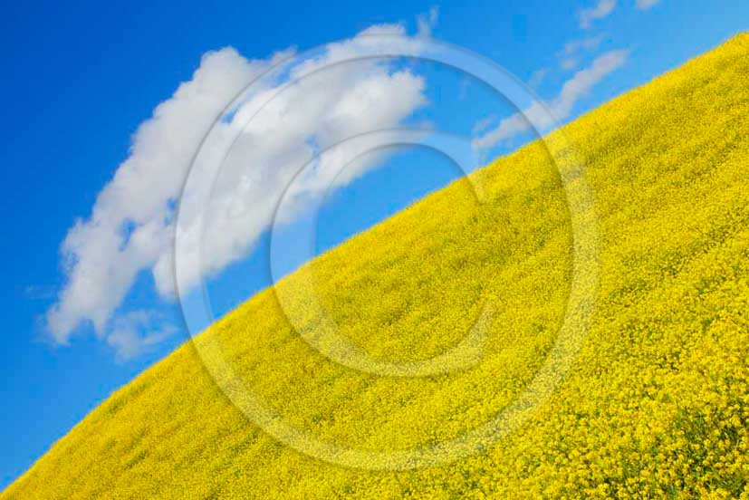 2011 - View of field of yellow Colsa flowers with white cloud and blue sky.