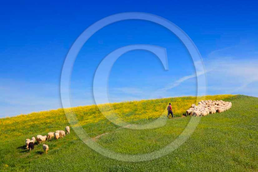 2011 - Sheeps and shepherd in hill of tuscan countryside.