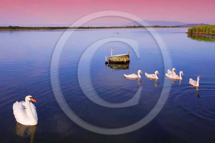 2011 - Swans swim on the lake inside the WWF reserve of Orbetello lagoon in Maremma land.