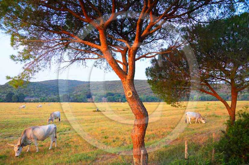2012 - White traditional cow into Uccellina Park at Alberese place in Maremma land.