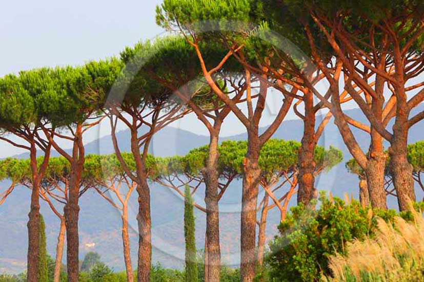 2012 - Pine trees in Maremma land.