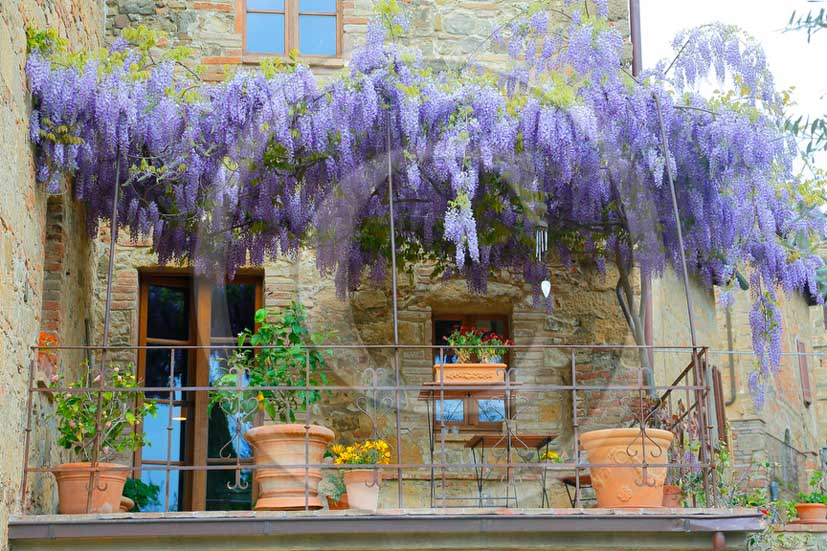 2012 - Traditional tuscan terrace with violet Ciclamino flowers.
