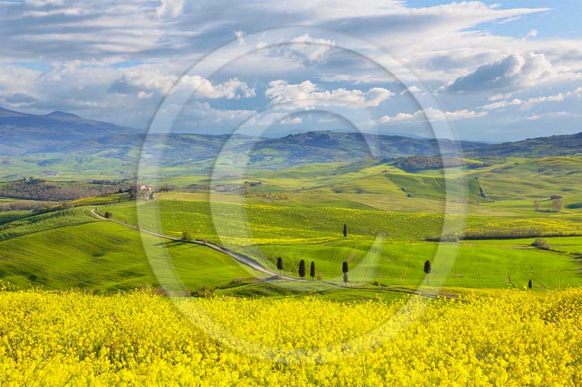 2013 - View of field of bead with yellow Colsa flowers in Orcia valley in spring.