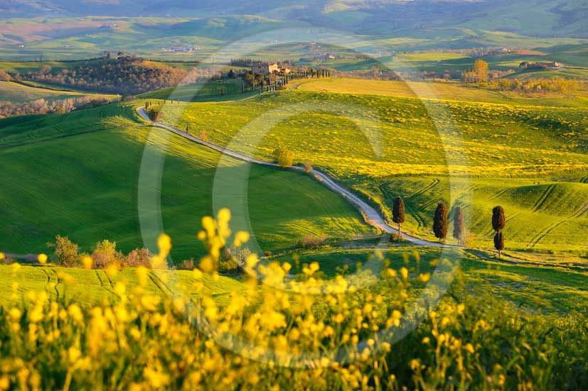 2013 - View of field of bead, cypress and yellow Colsa flowers in Orcia valley in spring along the