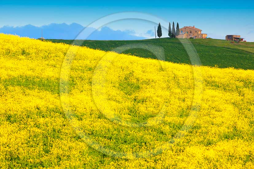 2013 - View of field of bead, cypress and yellow Colsa flowers in Orcia valley in spring.