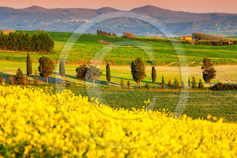 2013 - View of field of bead, cypress line and yellow Colsa flowers in Orciano valley in spring.