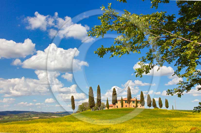 2013 - View of farm and cypress with and yellow Colsa flowers in Orcia valley in spring.