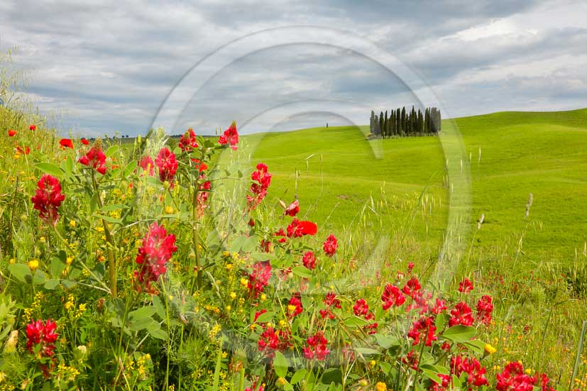 2013 - View of cypress and red poppies in spring in Orcia valley.