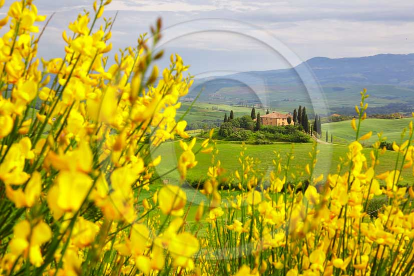 2013 - View of Ginestra yellow flowers with farm in Orcia valley on spring.