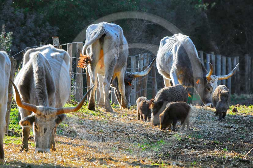2013 - Cow and boars inside the Uccellina Park at marian di Alberese village in maremma land.