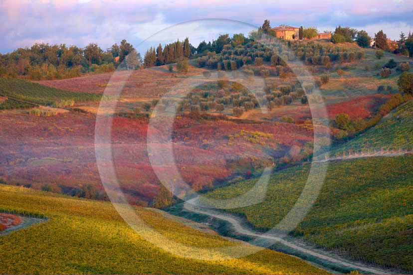2008 - Landscapes of red green and yellow vineyards on early morning in autumn, near Quercegrossa village, Chianti land, 13 miles north the province of Siena.