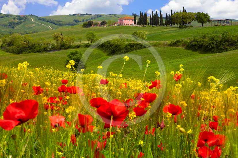 2009 - Landscapes of green bead with farm and cipress line with yellow colsa and red poppies flower in blue sky on spring, near S.Quirico medieval village, Orcia valley, 20 miles south province of Siena.