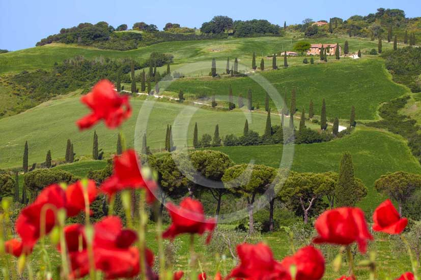 2009 - Landscapes with farm and cipress line in green field of bead with red poppies in spring, near La Foce place, Orcia valley, 35 miles south province of Siena.