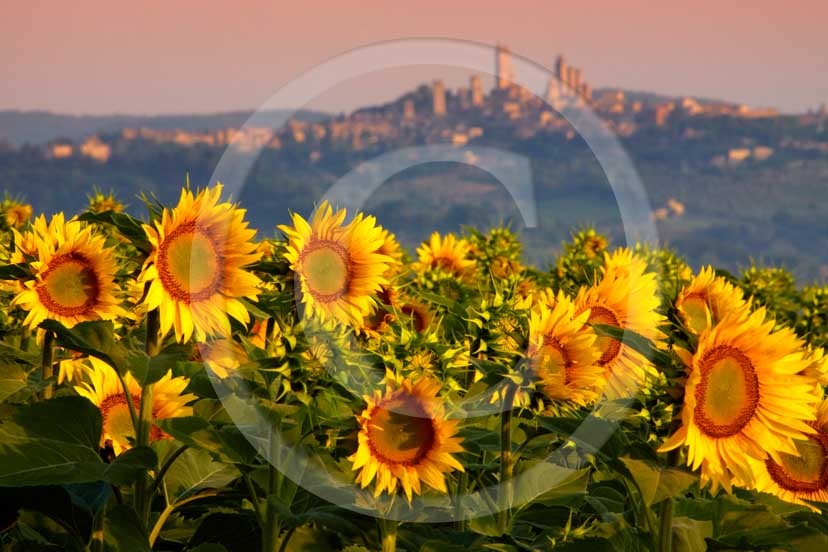 2009 - Landscapes of yellow sunflower with S.Gimignano medieval village on background on sunrise in easter, Elsa valley, 27 miles south the province of Florence.