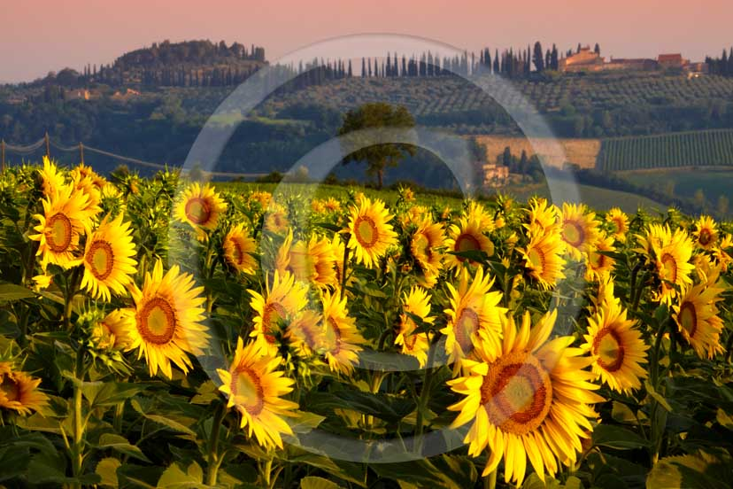 2009 - Landscapes of yellow sunflower on sunrise in easter, Elsa valley, 27 miles south the province of Florence.