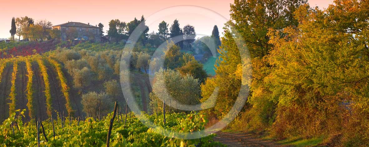 2009 - Panoramic view of green, yellow and red vineyards with farm anc cipress on early morning with fog in autumn, near Quercegrossa village, Chianti land, 20 miles north Siena province.