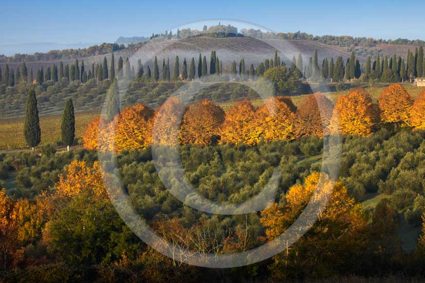 2009 - Landscapes of cipress line, yellow - orange trees and olives on early morning with fog in autumn, Lilliano place, Chianti land, 20 miles north Siena province.