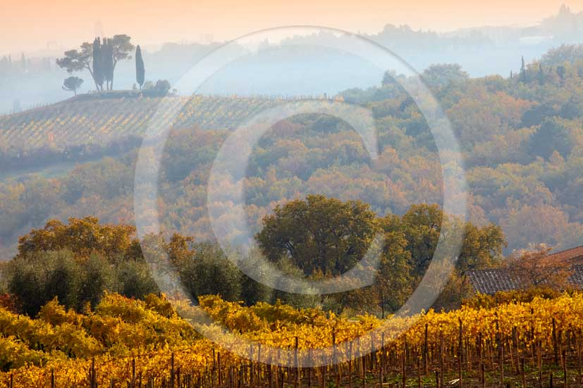 2009 - Landscapes of yellow vineyards on late afternoon in autumn, near Quercegrossa village, Chianti land, 12 miles north Siena province.