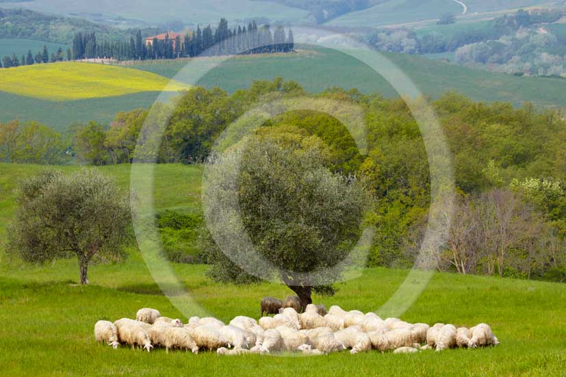 2010 - Landscape with farm and sheeps in springs near Montemori place, Crete Senesi, 19 miles south Siena province.