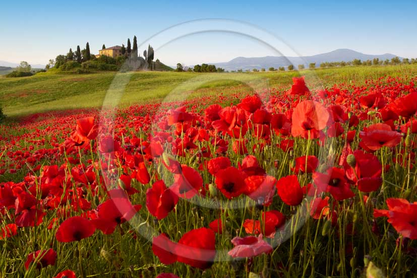 2011 - Landscape in spring of farm with red poppi flowers in Orcia vellay, near San Qurico Orcia.