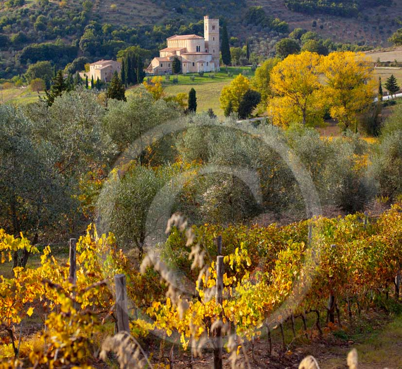 2011 - View of Saint Antimo abbay with yellow vineyards in autumn, Arbia valley, near Montalcino village.