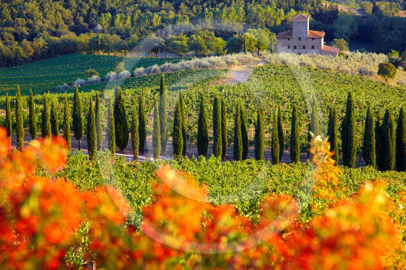 2011 - View of vineyard, cypress line and farm at Albiola place in Chianti Classico land.