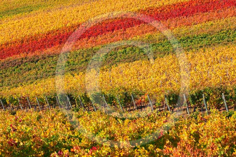 2011 - View of yellow red orange green colorated vineyards in autumn in Chianti Classico land.