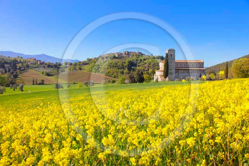 2011 - View of Saint Antimo Abbay into a field of yellow Colsa flowers.